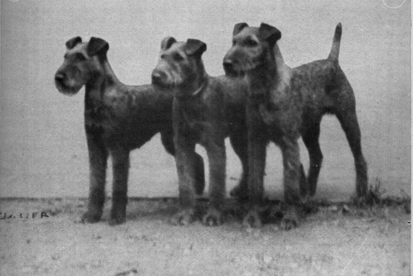Gruppe-Irish-Terrier-von-Poethen-001_1920