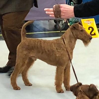 CH Doyle von der Emsmühle - 2. Platz Terriergruppe