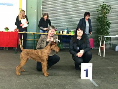 Rassebester Irish Terrier Shane Mc Gowan von der Emsmühle (Napoletano vonder Emsmühle x Irish Fellow Empire) Richterin: Frau Kremser (SLO)