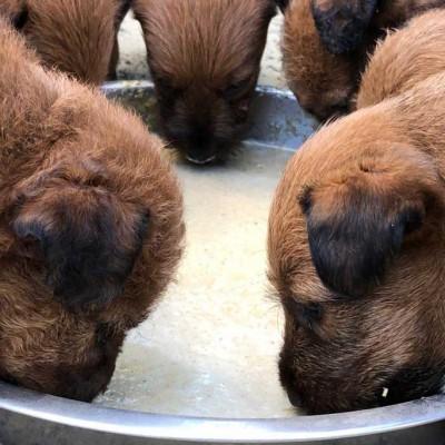 Kleine Terrier fressen mit Hingabe!