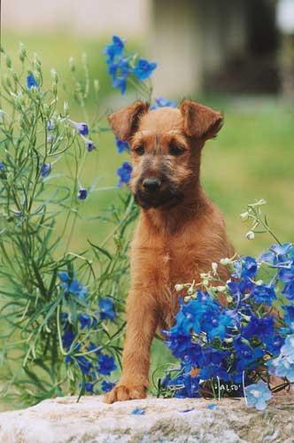 welcher deckr de ist der richtige irish terrier von der emsm hle. Black Bedroom Furniture Sets. Home Design Ideas